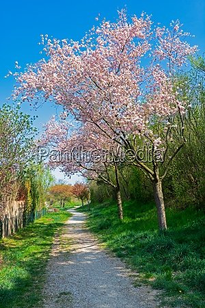 footpath with pink flowering trees
