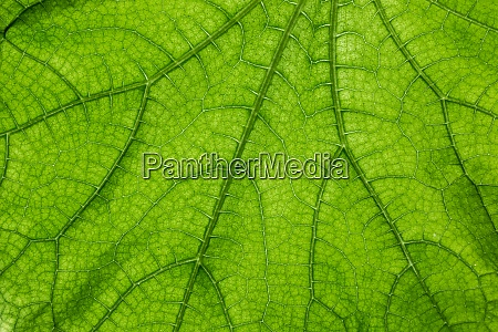 big green leaf with many leaf