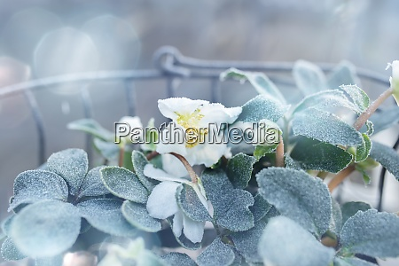christmas roses in frosty winter