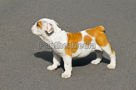 bulldog pose