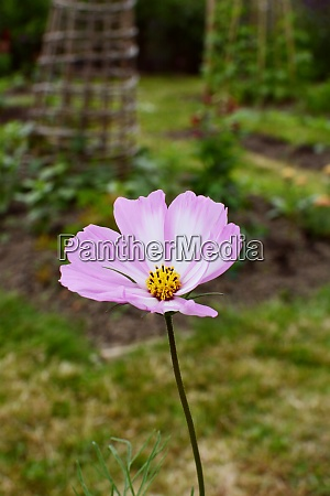 cosmos peppermint rock flower with pink