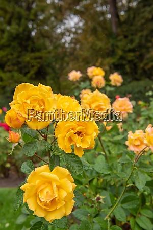 rose goldmarie