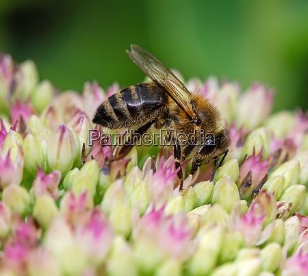 bee on sedum flower blossoms