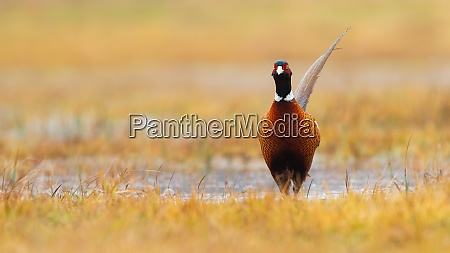 common pheasant walking on poured river