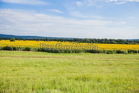 sunflowers fields on summer daylight