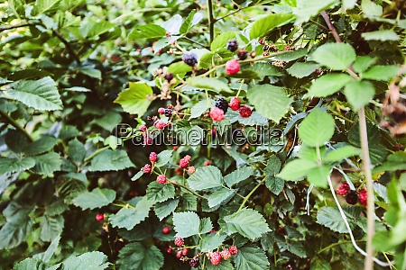 homegrown cultivated organic plantation blackberry berries