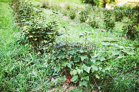 organic hazelnut plantation green young seedlings
