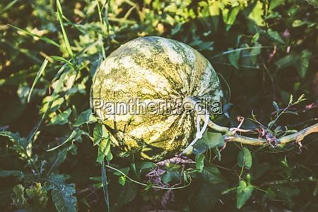 organic fresh watermelon plantation summer daylight