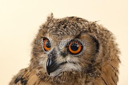birds bengalenuhu 2020 33832