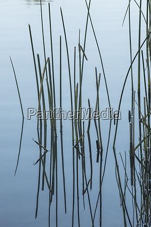 tall grass in calm water