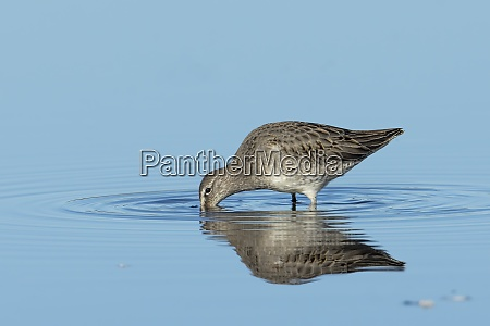 dowitcher digging in shallow water
