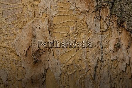 tree trunk with bark beetle tracks
