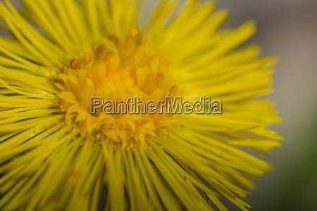 yellow blossom coltsfoot makro ansicht