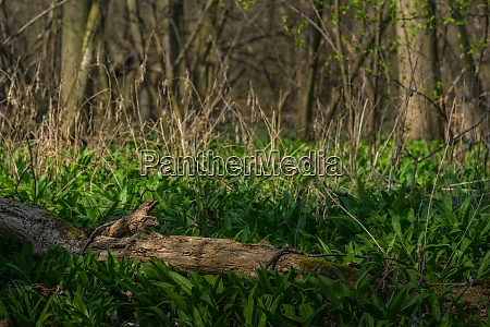 bears garlic in spring and forest