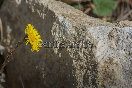 blossom coltsfoot and a rock