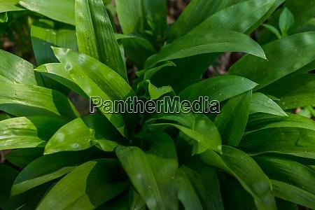 juicy wild garlic in the forest