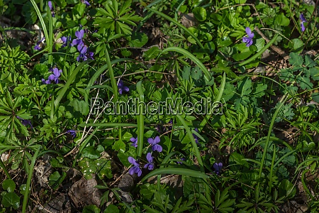 many violets on the forest floor