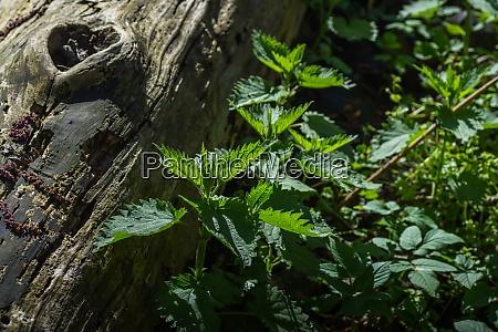 nettels near a tree trunk in