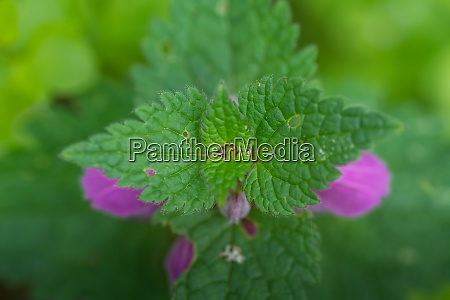 dead nettle from above with green