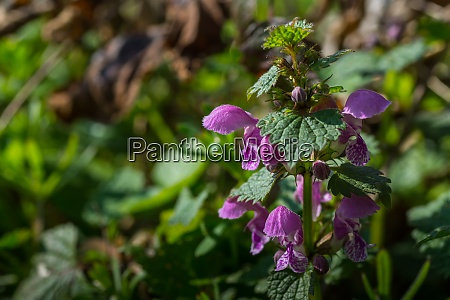 dead nettle in the sun and