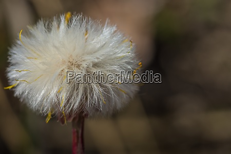 faded coltsfoot in spring large
