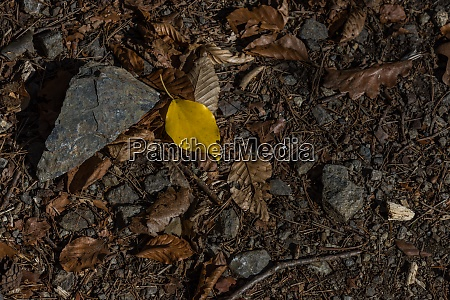 yellow leaf and many dried leaves