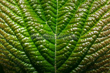 green leaf in the sun macro