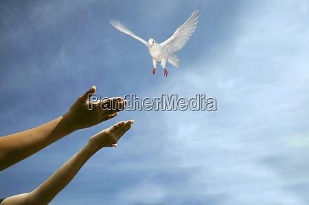 womans hands releasing dove in sky