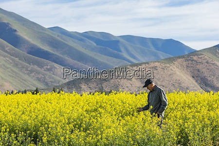 usa farmer examining mustard crop