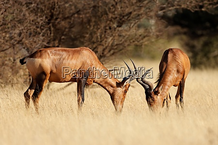 red hartebeest antelopes in grassland