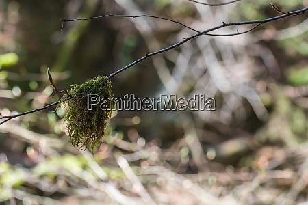 beard lichen on a branch in