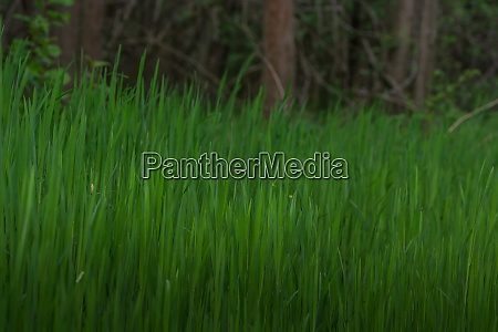 lush green gras in the nature
