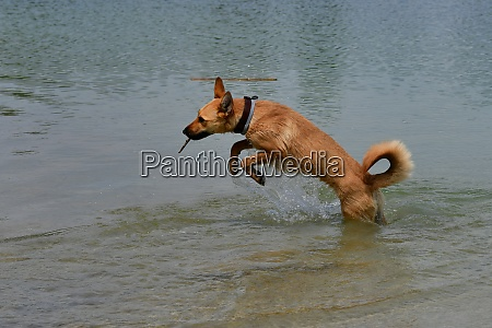 a crossbreed dog jumping happily in