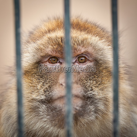 caged monkey behind bars of