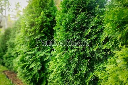 green lush thuja hedge closeup