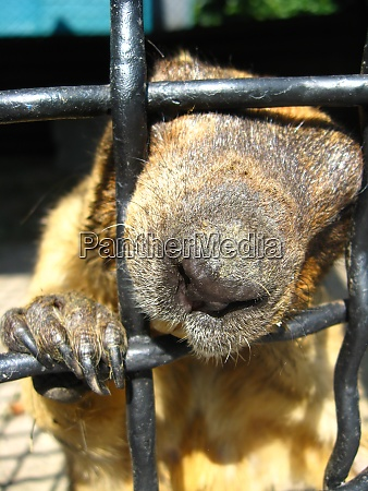 muzzle of steppe marmot behind the