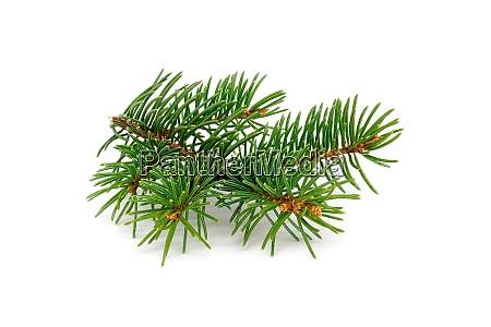 fir twig isolated