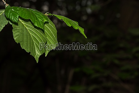 green leaves with dark background