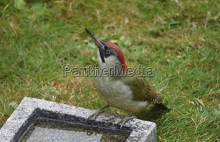green woodpecker drinks water