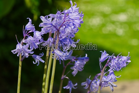 bluebell plants