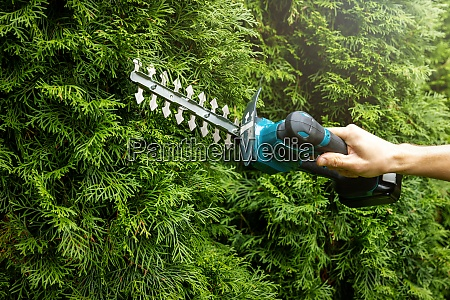 pruning evergreen garden hedge with electric