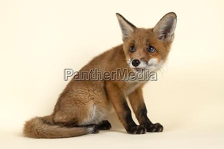 mammal fox 2020 32730