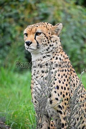 close up front portrait of cheetah