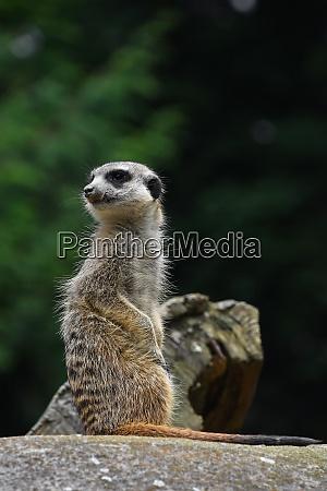 close up portrait of meerkat looking