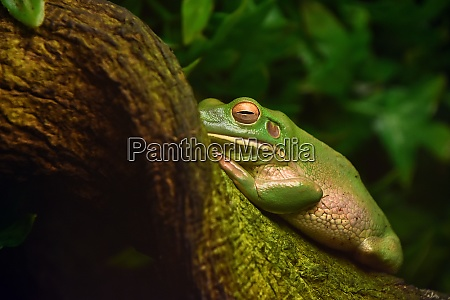 side view of green tropical frog