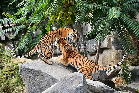 two siberian tigers play and fight