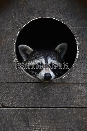 baby racoon looking out from round