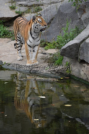 siberian tiger walks by water edge