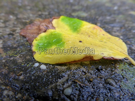 autumnal colored leaf on a wet