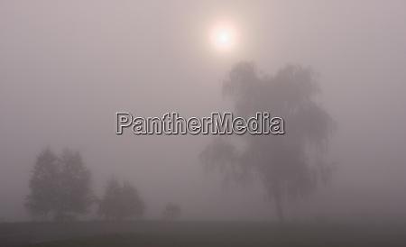 deciduous trees in morning mist